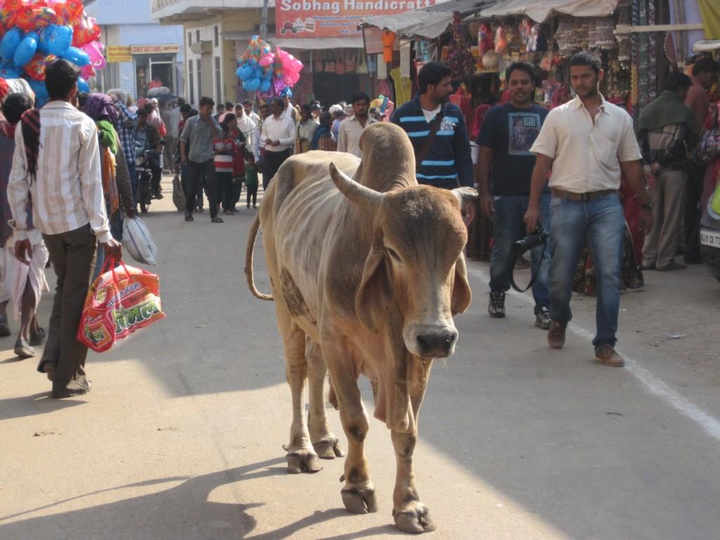 cow strolls GD