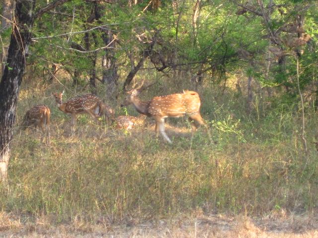 Spotted deer.