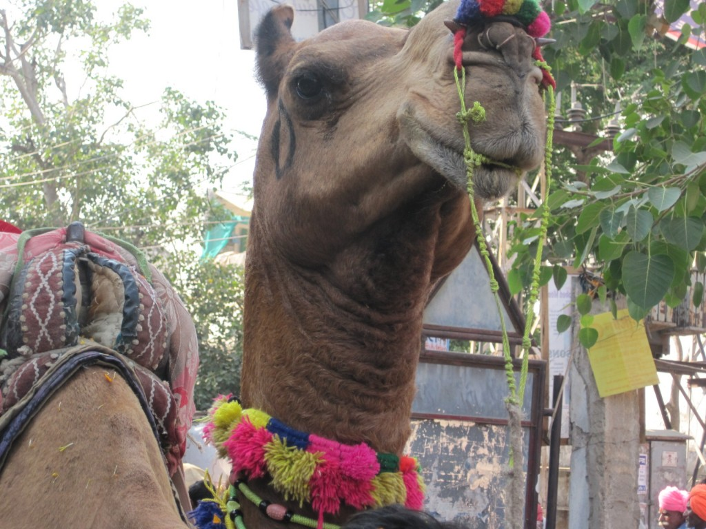 camel CU