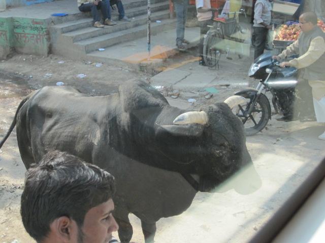 cow old delhi