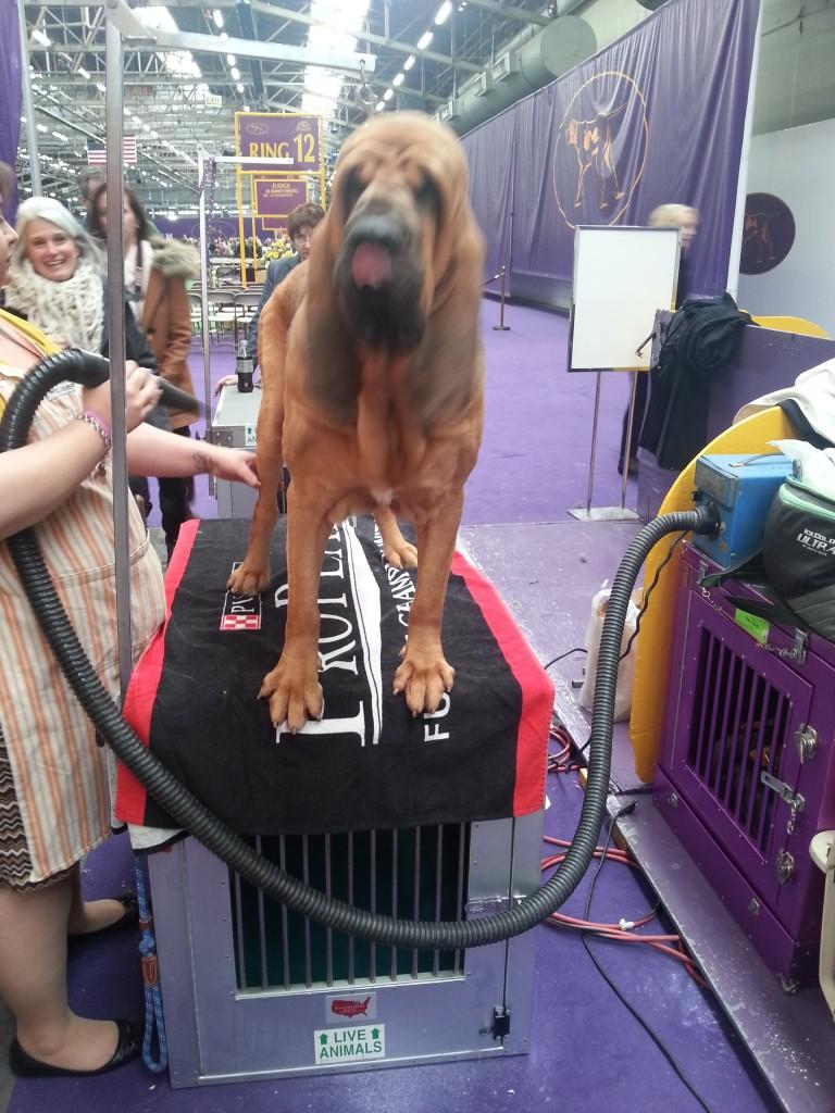 bloodhound face