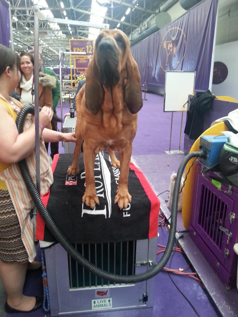 bloodhound head on