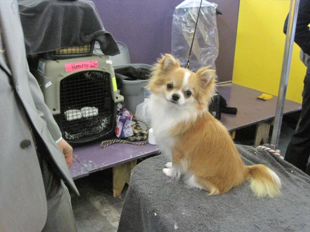 longhair chi cutie
