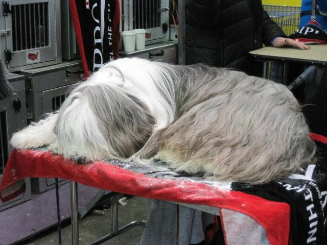 sheepdog sleeps
