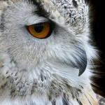 snowy_owl_close_up