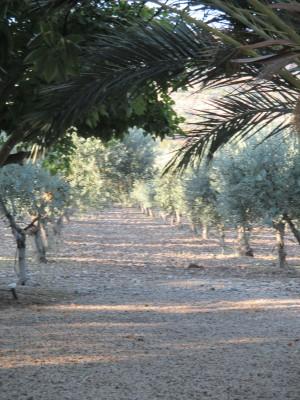 oliv grove