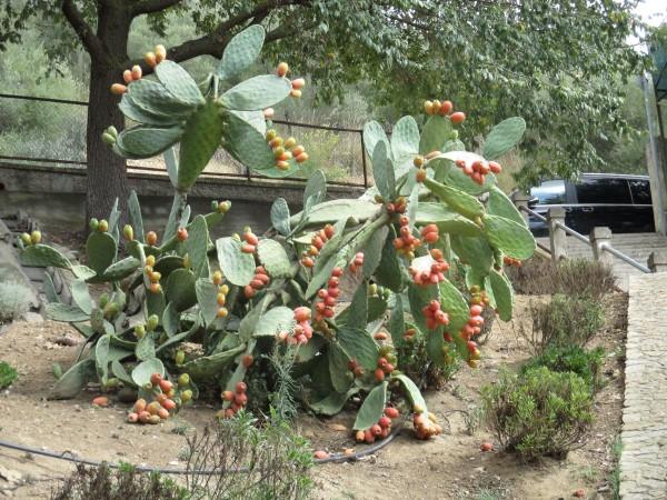 prickly pear berries