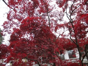 red leave trees nice
