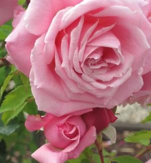 pink rose dog wk