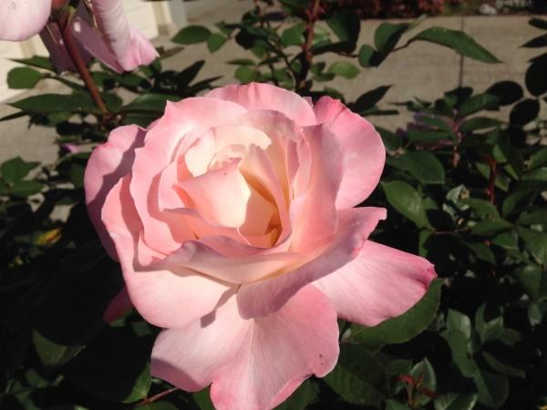 pink rose unfurled gorge