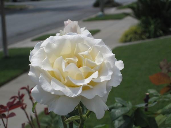 saka white rose