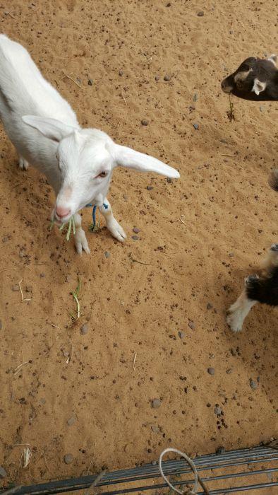 goat munchg